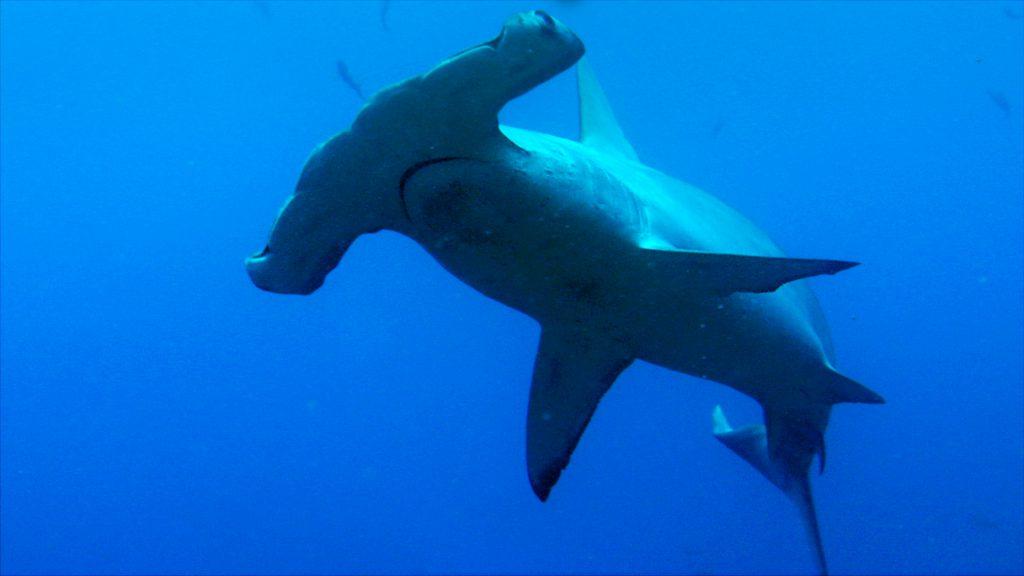 Scalloped hammerhead shark 2