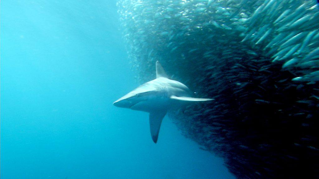 Dusky shark attacking school of sardines