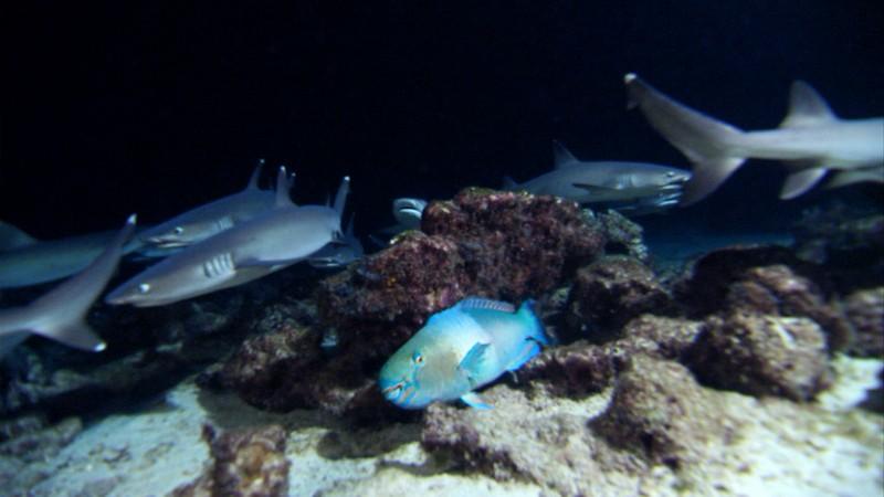Parrotfish hiding