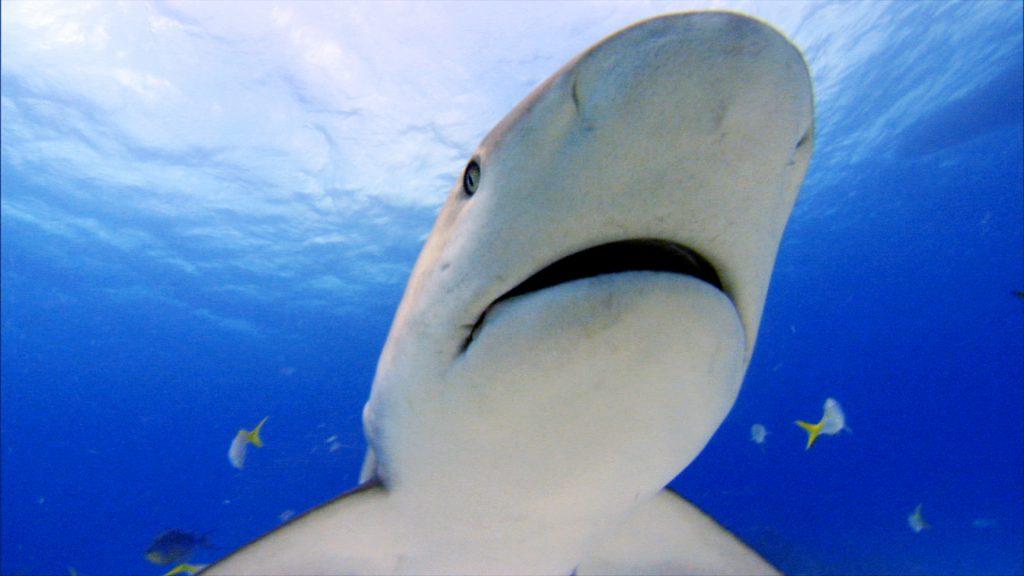 Caribbean reef shark 2