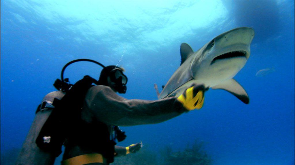 Feeding a Caribbean reef shark