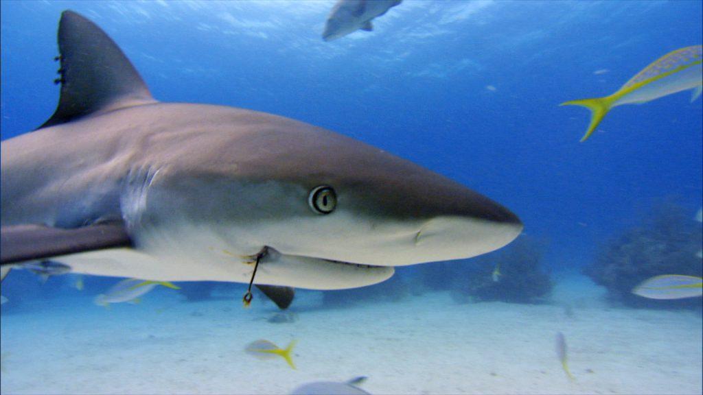 Caribbean reef shark 3