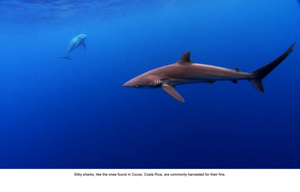 Silky shark and bottlenose dolphin