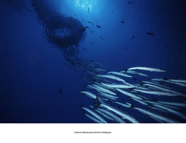 Schooling chevron barracuda