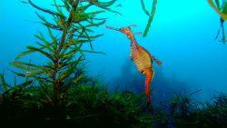 Weedie sea dragon