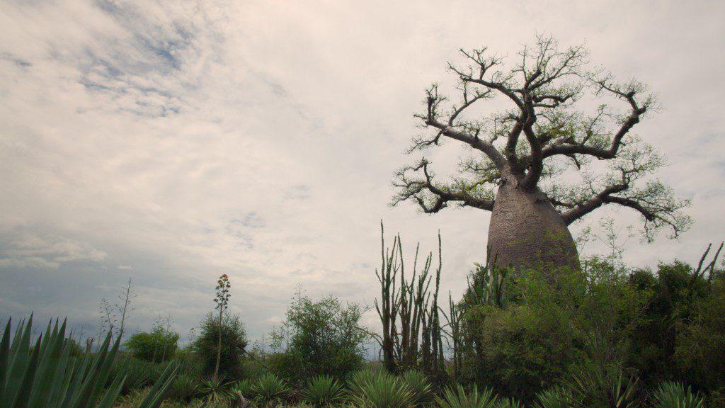 Ancient Baobab tree