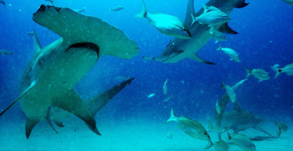 Great Hammerhead sharks