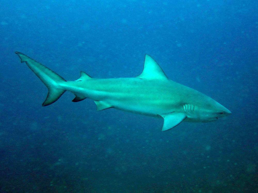 Bull shark | Carcharhinus leucas | Shark Database