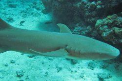 Tawny Nurse Shark