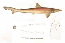 Spade-nose Shark 1