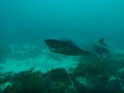 broadnose sevengill shark 3