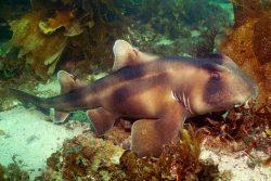 Crescent Bullhead Shark