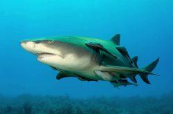 lemon shark 2