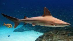 sandbar shark 1