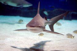 sandbar shark 2