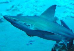 sandbar shark 3
