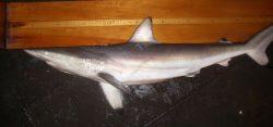 Carcharhinus brevipinna2