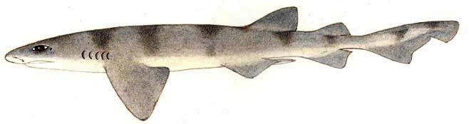 Надувающаяся головастая акула (Cephaloscyllium sufflans), картинка изображение рыбы рисунок