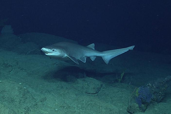 Bluntnose Sixgill Shark (Hexanchus griseus)