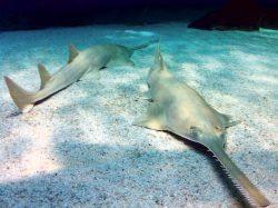 Longcomb Sawfish