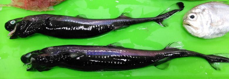 Viper Dogfish (<strong>Trigonognathus kabeyai)