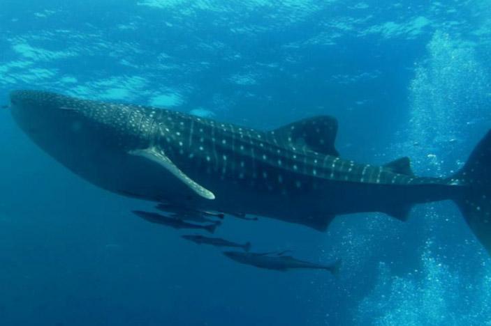 Whale Shark (Rhiniodon typus)